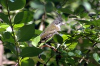 Eastern Whipbird (Psophodes olivaceus) ©©