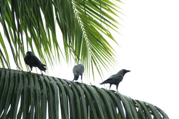 Palm Crows on Palm ©SwamiStream