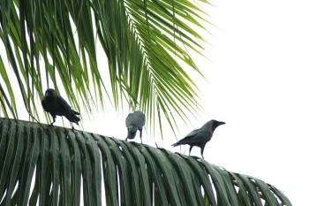 Palm Crows on Palm ©SwamiStream