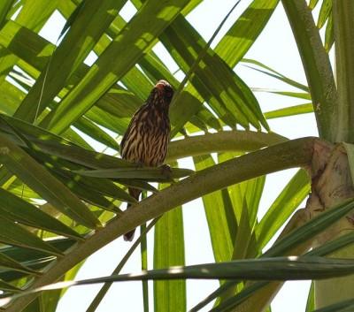 Palmchat (Dulus dominicus) ©SevenSeas of Rhye