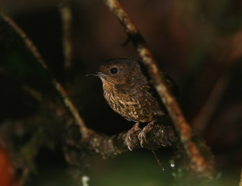 Pygmy Wren Babbler by Peter Ericsson