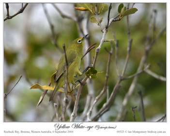 Canary (yellow) White-eye (Zosterops luteus balstoni) by Ian