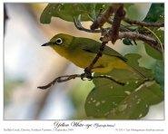 Canary (yellow) White-eye (Zosterops luteus) by Ian