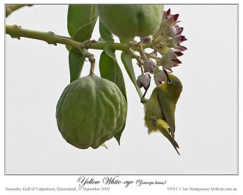 Canary (yellow) White-eye (Zosterops luteus luteus) by Ian