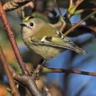 Goldcrest (Regulus regulus) female ©WikiC