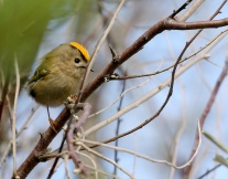 Goldcrest (Regulus regulus) Male displaying ©WikiC