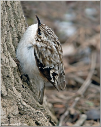 Brown Creeper (Certhia americana) by Ray