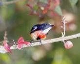 Blood-breasted Flowerpecker (Dicaeum sanguinolentum) ©©LipKee