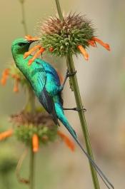 Malachite Sunbird (Nectarinia famosa) ©©Rainbirder