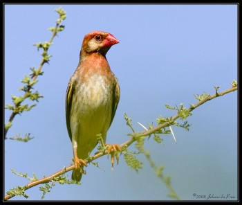 Red-billed Quelea (Quelea quelea) ©©JoMur