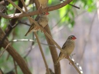 Red-billed Quelea (Quelea quelea) ©©pegash
