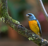 Blue-and-yellow Tanager (Thraupis bonariensis) by Dario Sanches