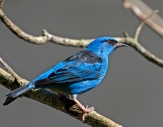 Blue Dacnis (Dacnis cayana) by Dario Sanches