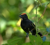 Flame-crested Tanager (Tachyphonus cristatus) by Dario Sanches