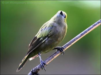 Palm Tanager (Thraupis palmarum) by Ia