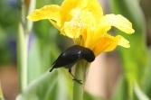 Slaty Flowerpiercer (Diglossa plumbea) ©©ornitholoco