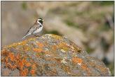 Lapland Longspur (Calcarius lapponicus) by Daves BirdingPix