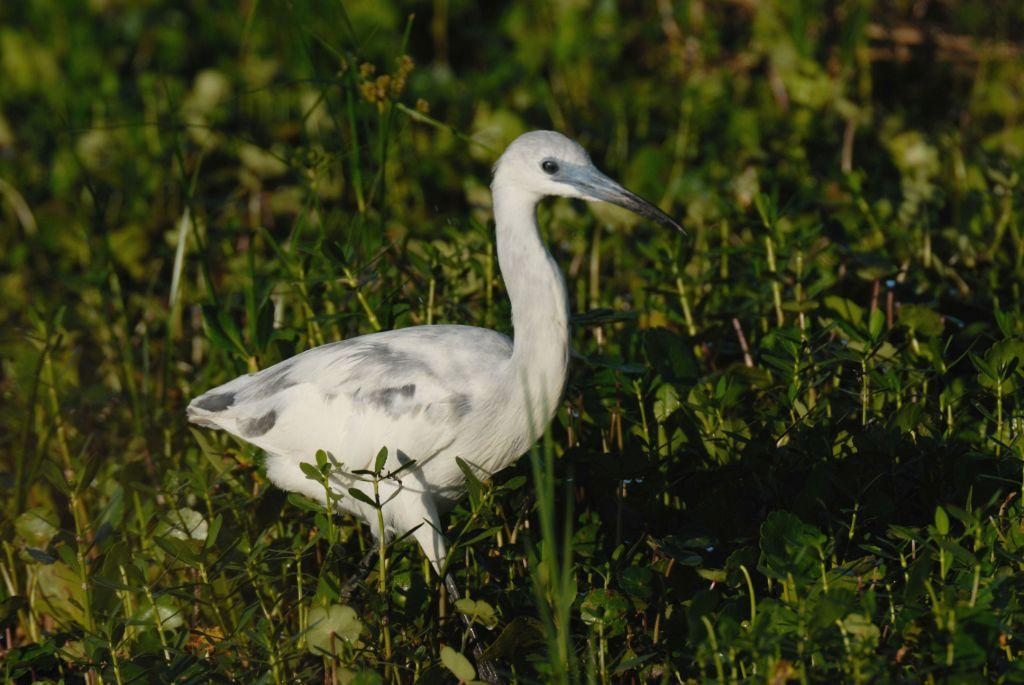 Little Blue Heron (Egretta caerulea) imm by Dan's Pix