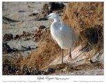 Little Egret (Egretta garzetta) by Ian