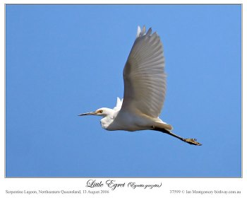 Little Egret (Egretta garzetta) by Ian