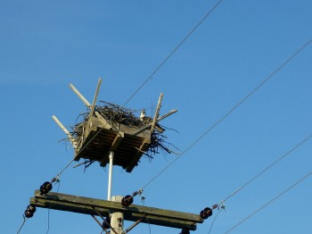 Western Osprey (Pandion haliaetus) ©©Mike Bowler