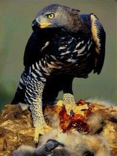 Crowned Eagle (Stephanoaetus coronatus) ©WikiC