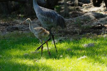 Sandhill Crane (Grus canadensis) and young by Dan's Pix