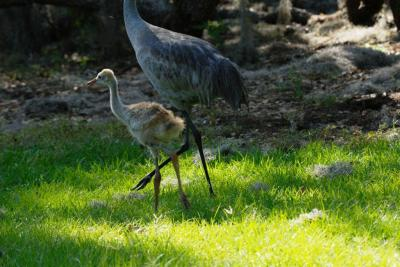 Sandhill Crane (Grus canadensis)and young (4) by Dan's Pix