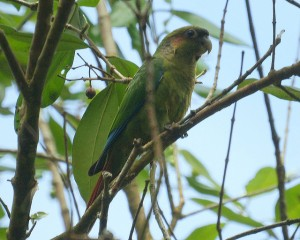Blood-eared Parakeet (Pyrrhura hoematotis) ©©barloventomagico