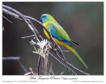 Turquoise Parrot (Neophema pulchella) by Ian
