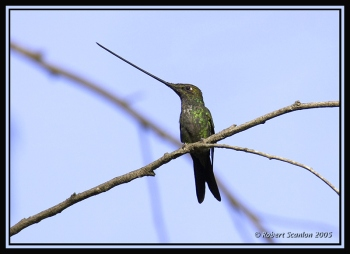 Sword-billed Hummingbird (Ensifera ensifera) by Robert Scanlon