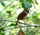 Carolina Wren (Thryothorus ludovicianus) by Dan