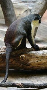 Diana Monkey at the Henry Doorly Zoo ©WikiC