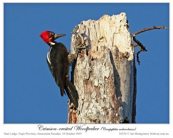 Crimson-crested Woodpecker (Campephilus melanoleucos) by Ian