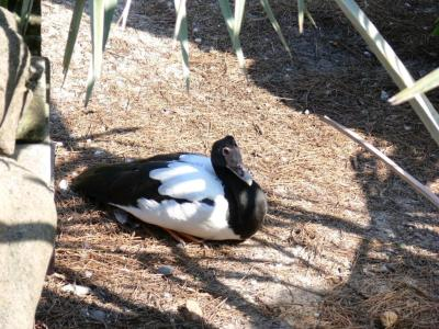 Magpie Goose (Anseranas semipalmata) by Lee LPZ