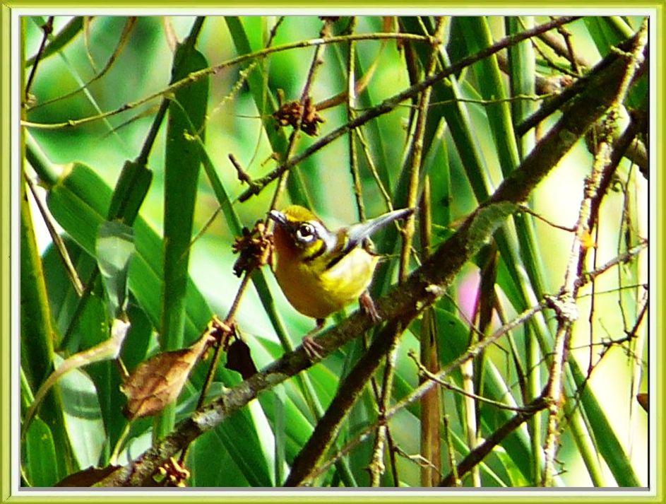 Black-eared Shrike-babbler (Pteruthius melanotis) by Khong T Khoon