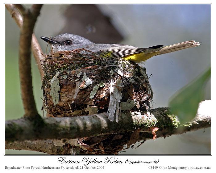 Eastern Yellow Robin (Eopsaltria australis) by Ian