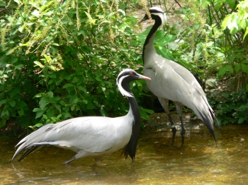 Demoiselle Crane (Grus virgo) Memphis Zoo by Dan