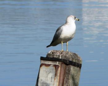 Ring-billed Gull (Larus delawarensis) Lk Hollingsworth by Lee