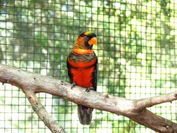 Dusky Lory (Pseudeos fuscata) by Lee at LPZoo