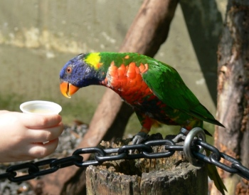Lorikeet being feed by youngster at Lowry Pk Zoo