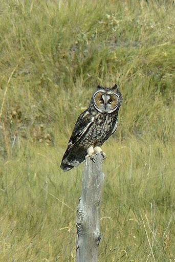 Long-eared Owl (Asio otus) by Derek
