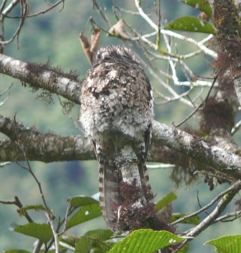 Andean Potoo (Nyctibius maculosus) on a branch ©WikiC