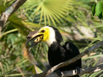 Sulawesi Hornbill (Penelopides exarhatus) by Lee LPZ