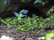 Cobalt-winged Parakeet (Brotogeris cyanoptera) by Ian