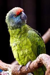 Festive Amazon (Amazona festiva bodini) ©WikiC