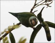 Grey-cheeked Parakeet (Brotogeris pyrrhoptera) by Ian