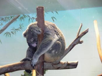 Koala by Lee LPZ