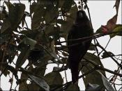 Maroon-tailed Parakeet (Pyrrhura melanura) by Ian