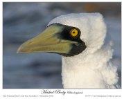 Masked Booby (Sula dactylatra) by Ian